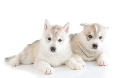 Cute siberian husky puppy. On white background Stock Photo