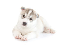 Cute siberian husky puppy. On white background Royalty Free Stock Photos