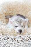Cute siberian husky puppy. On white background Royalty Free Stock Photo