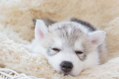 Cute siberian husky puppy. On white background Royalty Free Stock Images