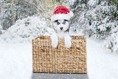 Cute Siberian husky with Santa hat and basket. Picture of a cute Siberian husky dog lying in the wicker basket while wearing Santa Claus hat. Shot in the forest royalty free stock photography