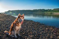 Cute Siberian husky sits on bank against blue clear sky. Brown husky dog on walk in warm evening. Summer peaceful landscape. Cute Siberian husky sits on the stock photography