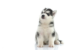 Cute siberian husky sitting and looking up Royalty Free Stock Photo