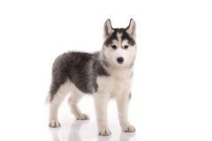 Cute siberian husky standing Royalty Free Stock Photos