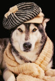 Cute siberian husky wearing a vintage hat. And a shawl Royalty Free Stock Images