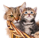 Cute siberian kitten Royalty Free Stock Image