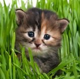 Cute siberian kitten. Over bright green grass background Royalty Free Stock Image