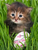 Cute siberian kitten Royalty Free Stock Images