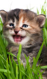 Cute siberian kitten Royalty Free Stock Photo