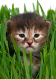 Cute siberian kitten Stock Photos