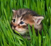 Cute siberian kitten Stock Photo