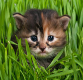 Cute siberian kitten Royalty Free Stock Photography