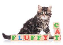 Cute siberian kitten Stock Image