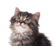 Cute siberian kitten Stock Image
