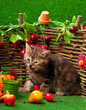 Cute siberian kitten Royalty Free Stock Photos