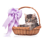 Cute siberian kitten Royalty Free Stock Photography