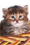 Cute siberian kitten. In a wicker basket over white background Royalty Free Stock Image