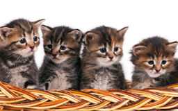 Cute siberian kittens Royalty Free Stock Photo