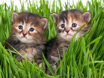 Cute siberian kittens Stock Image