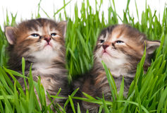 Cute siberian kittens Stock Photography