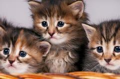 Cute siberian kittens Stock Images