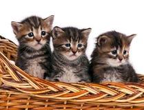 Cute siberian kittens Stock Image