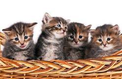 Cute siberian kittens Royalty Free Stock Photography