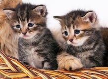 Cute siberian kittens Stock Photos