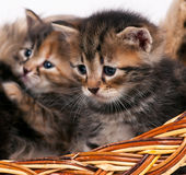 Cute siberian kittens Stock Photography