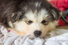 Cute siberian puppy Royalty Free Stock Photo