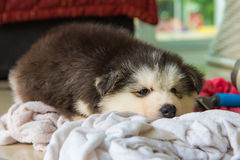 Cute siberian puppy Stock Photography