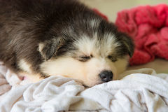 Cute siberian puppy Stock Photo