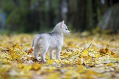 Cute Siberian puppy Husky on the grass with leaves in beautiful stand stock photo