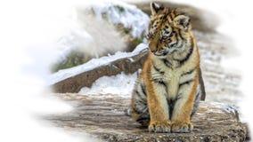Cute siberian tiger cub Royalty Free Stock Photos