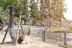 Cute sika deer resting by the lake, Nara, Japan. Cute sika deer Cervus nippon resting by the lake in the park near to Todaiji Temple Great Eastern Temple, Nara stock photo