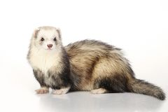 Cute silver ferret on white background in studio Royalty Free Stock Photos