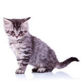 Cute silver tabby baby cat Royalty Free Stock Image