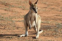 Cute baby kangaroo. Cute single Red kangaroo baby on red sand royalty free stock image