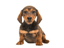 Cute single sitting shorthair badger-dog puppy facing the camera Royalty Free Stock Image