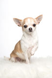 Cute sitting chihuahua dog Royalty Free Stock Images