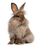 A cute sitting chocolate lionhead bunny rabbit. A cute sitting chocolate colored lionhead bunny rabbit, on white background stock photos