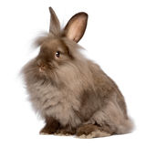 Cute sitting chocolate lionhead bunny rabbit. A cute sitting chocolate colored lionhead bunny rabbit, isolated on white background stock images