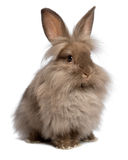 Cute sitting chocolate lionhead bunny rabbit. A cute sitting chocolate colored lionhead bunny rabbit, on white background royalty free stock photos