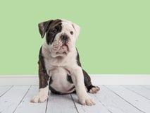 Cute sitting english bulldog in a green living room setting Stock Photo