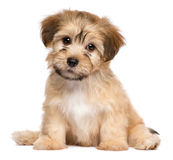 Cute sitting havanese puppy dog. Cute havanese puppy dog is sitting frontal and looking at camera, isolated on white background stock image