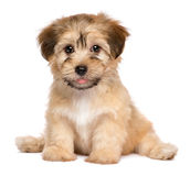 Cute sitting havanese puppy dog royalty free stock images
