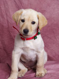 Cute sitting puppy dog in Christmas collar Royalty Free Stock Photos