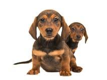 Cute sitting shorthair dachshund puppy dogs royalty free stock photo