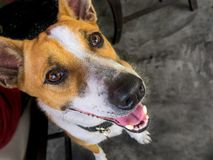 Cute sitting smiling Thai's local dog royalty free stock photography