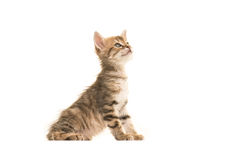 Cute sitting tabby turkish angora baby cat looking up Royalty Free Stock Photography